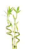 Groen die bamboe op wit wordt geïsoleerdn Royalty-vrije Stock Foto's