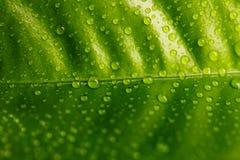 Groen die blad met dalingen van dauw wordt behandeld Royalty-vrije Stock Foto's
