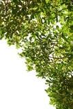 Groen die blad op witte achtergrond 2 wordt geïsoleerd Stock Foto's