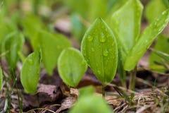 Groen die Blad in Regendruppeltjes wordt behandeld Stock Afbeelding