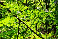 Groen die bos door de ochtendzon wordt verlicht, van de binnenkant Stock Afbeelding