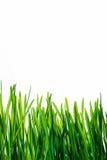 Groen die gras met bezinning op witte achtergrond wordt geïsoleerd Stock Afbeelding