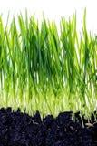 Groen die gras met bezinning op witte achtergrond wordt geïsoleerd Stock Foto's