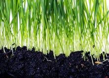Groen die gras met bezinning op witte achtergrond wordt geïsoleerd Stock Afbeeldingen