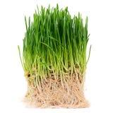 Groen die gras op witte achtergrond wordt geïsoleerd Stock Afbeelding