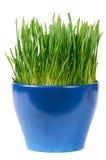 Groen die gras in pot op witte achtergrond wordt geïsoleerd Stock Fotografie