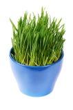 Groen die gras in pot op witte achtergrond wordt geïsoleerd Stock Foto