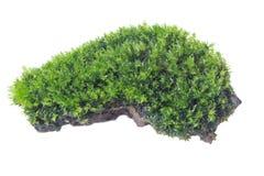 Groen die mos op witte dichte omhooggaand wordt geïsoleerd als achtergrond stock foto