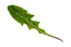 Groen die Paardebloemblad met Textuur op Witte Achtergrond wordt geïsoleerd Stock Foto's