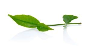 Groen die theeblad op witte achtergrond wordt geïsoleerd Royalty-vrije Stock Afbeelding