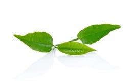 Groen die theeblad op witte achtergrond wordt geïsoleerd Royalty-vrije Stock Foto's