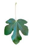 Groen die vijgeblad op de witte achtergrond wordt geïsoleerd Royalty-vrije Stock Foto