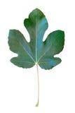 Groen die vijgeblad op de witte achtergrond wordt geïsoleerd Stock Foto's