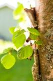 Groen doorbladert Stock Foto's