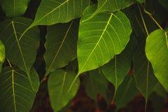 Groen doorbladert Stock Afbeelding
