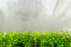 Groen doorbladert in de mist Stock Foto's