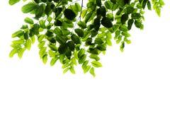 Groen doorbladert geïsoleerde Stock Foto's