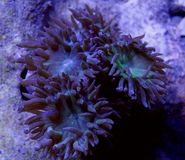Groen Duncan Coral royalty-vrije stock foto's