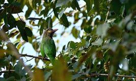 Groen-eared Barbet Vogel stock foto