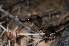 Groen Ebony Jewelwing Damselfly Female op Open Takjevleugels stock foto