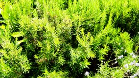 Groen eeuwigdurend rozemarijngras in de tuin, heerlijk kruid stock videobeelden