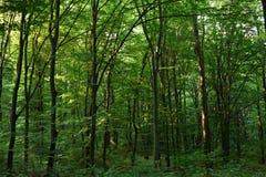 Groen eiken bos Royalty-vrije Stock Afbeeldingen