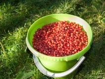 Groen emmerhoogtepunt van rijpe rode wilde aardbei op groen gras Royalty-vrije Stock Fotografie