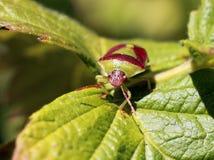 Groen en Bourgondië stink Insect - Banasa-dimidiata Royalty-vrije Stock Fotografie