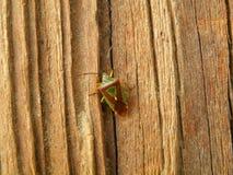 Groen en een Rood weinig Insect die op de Bruine houten Muur beklimmen Royalty-vrije Stock Foto's