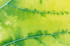 Groen en geel blad Stock Fotografie