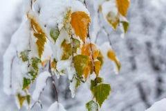 Groen en geel doorbladert behandeld met sneeuwclose-up Royalty-vrije Stock Fotografie