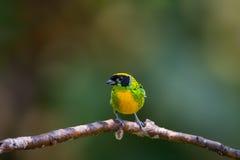 Groen-en-gouden Tanager, Mannetje Royalty-vrije Stock Afbeeldingen