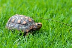 Groen en oranje Jabuti/Schildpad, stil op het gras die met het landschap, met een vlieg op het hoofd camoufleren royalty-vrije stock foto's