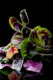 Groen en purplr bladeren Stock Afbeeldingen