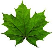 Groen esdoornblad Royalty-vrije Stock Afbeelding