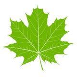 Groen esdoornblad Geïsoleerdee vector Stock Afbeelding