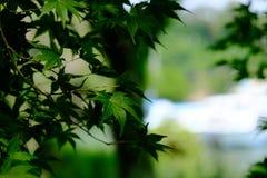 Groen esdoornverlof in Japan stock afbeelding