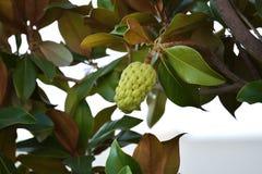 Groen Eshtafruit Royalty-vrije Stock Foto