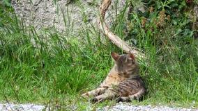 Groen-eyed kat zelf-verzorgt onder het gras stock footage
