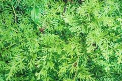 Groen Fern Texture Stock Afbeeldingen
