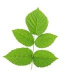 Groen frambozenblad stock afbeelding