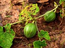Groen fruit stock fotografie