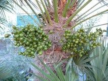 Groen fruit op Vingerpalm Royalty-vrije Stock Afbeelding