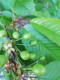 Groen fruit van kers royalty-vrije stock foto