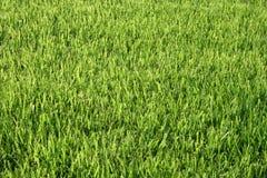 Groen gazon Royalty-vrije Stock Foto