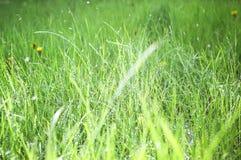 Groen gazonclose-up in druppeltjes van water, achtergrond, close-up, selectieve nadruk royalty-vrije stock foto