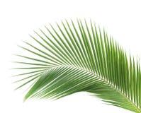 Groen geïsoleerd kokosnotenblad Stock Afbeeldingen