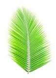 Groen geïsoleerd kokosnotenblad Royalty-vrije Stock Foto's