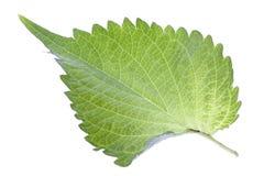 Groen Geïsoleerdb Blad Perilla royalty-vrije stock afbeelding