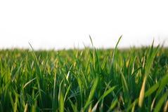 Groen geïsoleerdr gras stock foto's